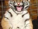 Böser Tiger