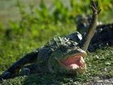Winkendes Krokodil