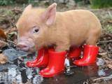 Das gestiefelte Schweinchen