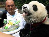 Panda-Geburtstag