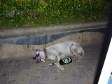 Thailändischer Hund im Ruhestand