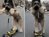 Rollerhund
