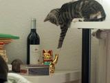 Checker Katze