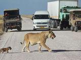 Löwenmama überquert Straße