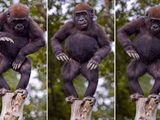 Tanzender Affe