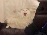 Gähnende Katzen