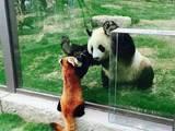 Pandatreffen
