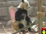 Pandabär im Schaukelstuhl