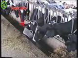 Gierige Kühe