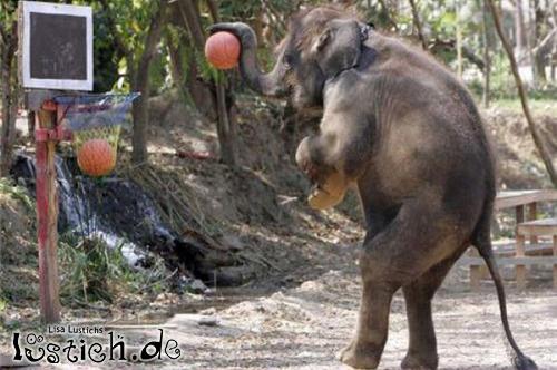 Elefant auf Korbjagd