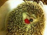 Igel mit Erdbeere