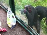 Schimpanse weiß, was er will
