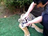 Tiger hat Zahnschmerzen